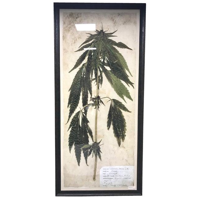 Extra Large Archival Botanical Specimen Framed Print - Cannabis ...