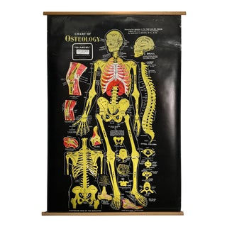 Vintage Osteology Anatomical Pull Down Chart For Sale