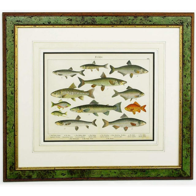 Illustration Colorful Trio 1880 Schubert German Lithographs of Aquatic Life For Sale - Image 3 of 10