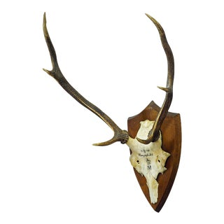 Antique Black Forest Deer Trophy From Salem - Germany, Hungerbuel 1910 For Sale
