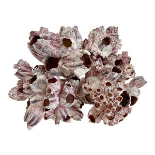 Natural Barnacles Cluster For Sale