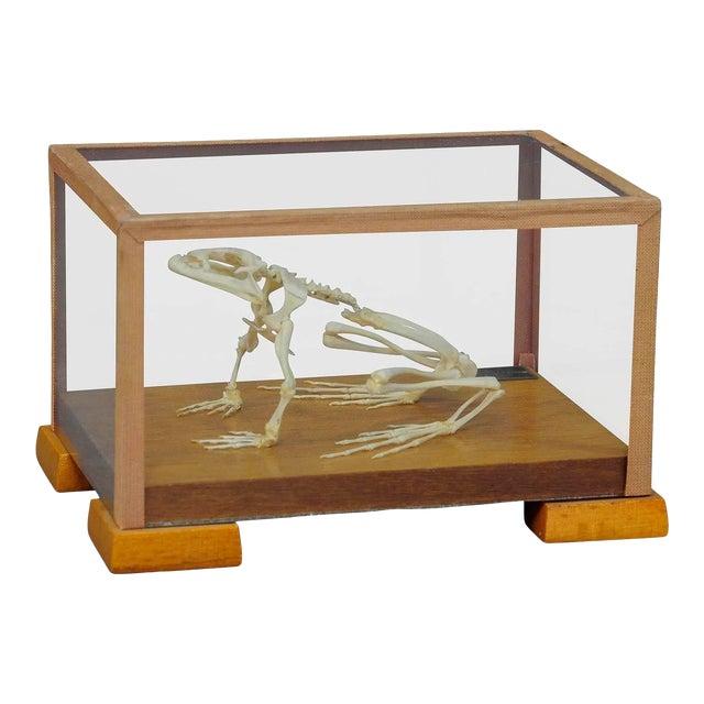 Vintage Frog Skeleton Model For Class Circa 1950 For Sale