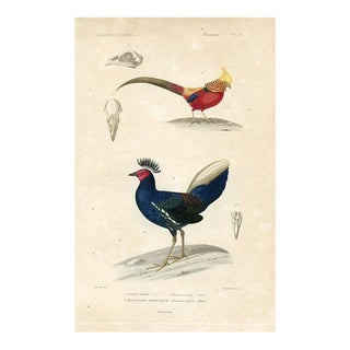French Pheasant Print, 1850s Engraving For Sale