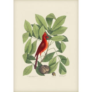 Mark Catesby Print of Red Bird, Plate 38 For Sale