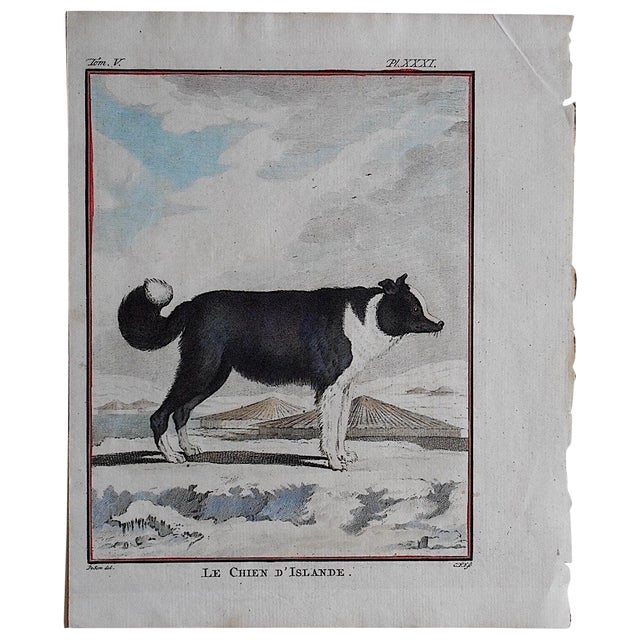 Antique Dog Engraving - Iceland Dog For Sale