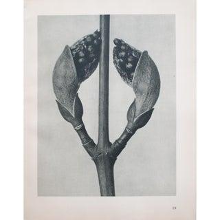 Karl Blossfeldt Double Sided Photogravure N19-20