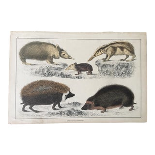 19th Century Antique Oliver Goldsmith Hedgehog Tenrec Reproduction Engraving Print For Sale