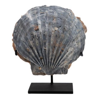 Fossilized Mounted Blue Pecten For Sale