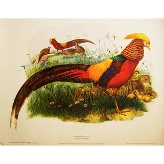 Magnificent Golden Pheasant by Daniel G. Elliot, XL Vintage Lithogravure For Sale