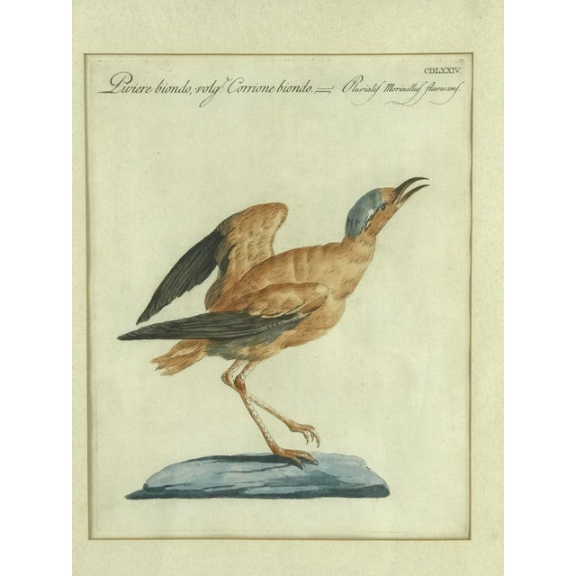 """Ca 1776 hand colored print titled """"Piviere Biondo, Volg. Carrione Biondo - Pluvialis Morinellus Flavescens"""" showing..."""