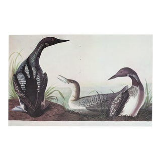 1960s Cottage Style Lithograph of a Black-Throated Diver by John James Audubon
