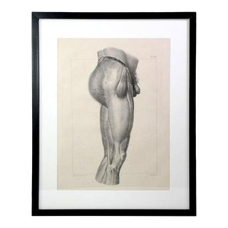 1831 French Anatomy Muscular Thigh Study Lithographic Print - Framed Under Plexiglass For Sale