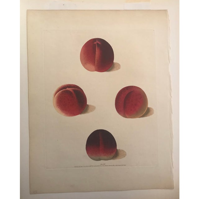 Traditional 19th Century Duc De Tillees, Brugnon Nectarines Engraving by George Brookshaw For Sale - Image 3 of 3