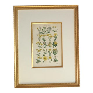 """""""Marigolds"""" Lithograph by Sowerby, 1859 For Sale"""