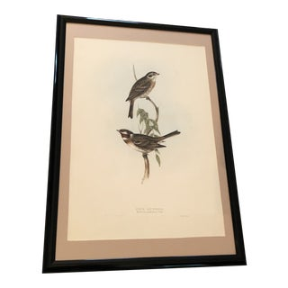 Early 19th Century Antique Gould's Birds of Europe Pine Bunting Hand Colored Lithograph Print For Sale