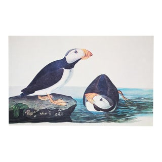 XL Vintage Print of Large Billed Puffin