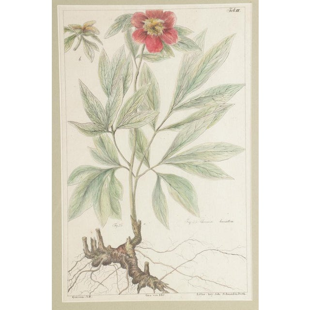 A fine lovely pair of illustrated hand-colored botanical lithographs on paper; Fig. 25: Paconia Banatica and Fig. 61-62:...