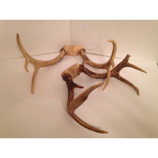 White Tail Deer Antlers - A Pair - Image 3 of 5