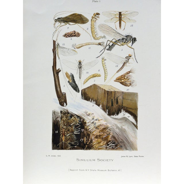 Traditional Simulium Flies Print, Circa 1900 For Sale - Image 3 of 7