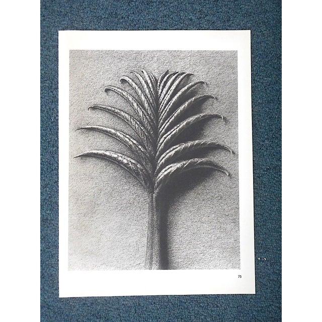 Black Vintage Botanical Photogravures by Karl Blossfeldt-Extreme Close-Ups C.1942-Printed One Side Only For Sale - Image 8 of 9