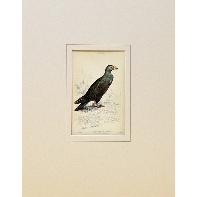 Colorful Turkish pigeon from The Naturalist's Library, by Sir William Jardine. Engraved and hand-colored in Edinburgh,...