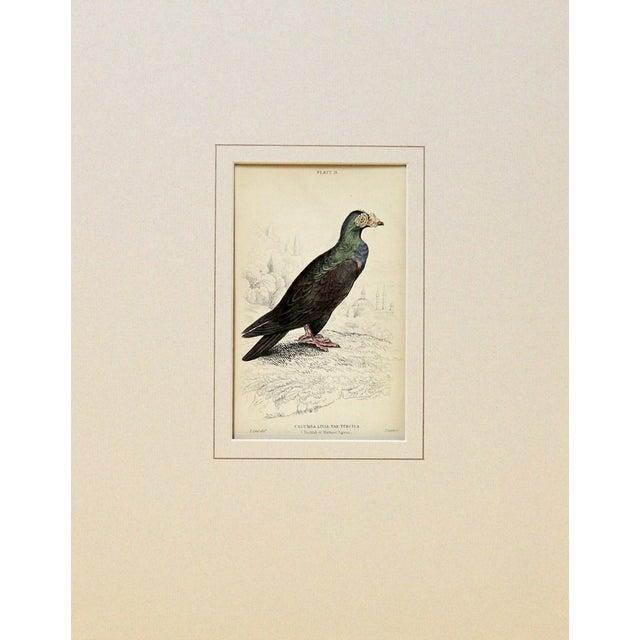 Antique Turkish Pigeon Engraving - Image 2 of 2
