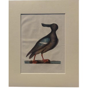 1815 Blue Winged Shoveller by Catesby