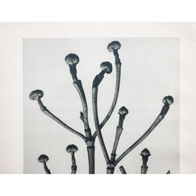 Abstract 1935 Karl Blossfeldt Photogravure N15-16 For Sale - Image 3 of 9