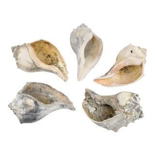 Vintage Natural Conch Shell Collection - Set of 5 For Sale