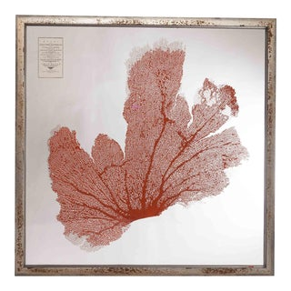 Sea Fan Suspended Between Glass For Sale
