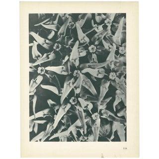 1928 Karl Blossfeldt Original Peirod Photogravure N116 of Asclepias Speciosa For Sale