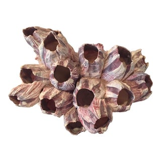 Natural Barnacle Cluster Specimen For Sale