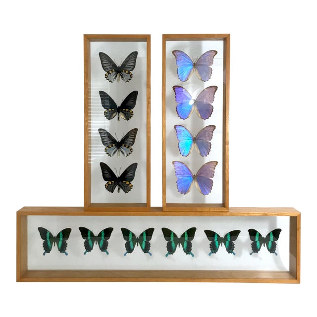 Blue Morpho's & Ulysses Box Framed Butterflies Wall Panel Hangings - Set of 3 For Sale
