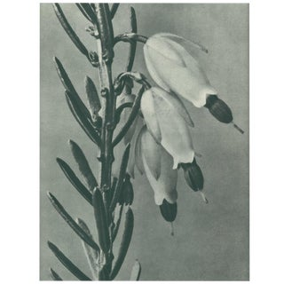 1928 Original Photogravure N110 of Erica Herbecea by Karl Blossfeldt For Sale
