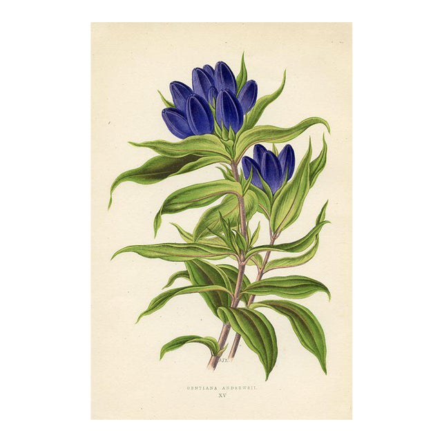 Andrew's Gentian, Antique Botanical Print For Sale