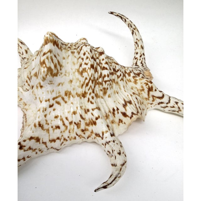 Spider Conch Shell - Image 3 of 9