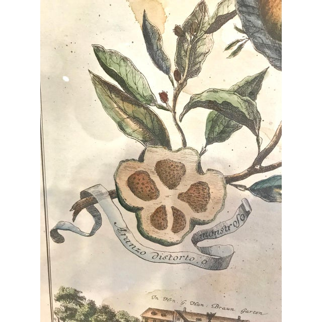 Yellow 18th Century Antique Volkhammer Botanical Engravings - A Pair For Sale - Image 8 of 12