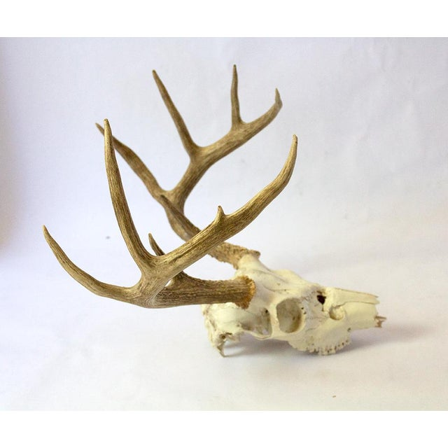 An attractive 9-point white tailed deer skull in excellent vintage condition. Skull portion dip-painted white by a...