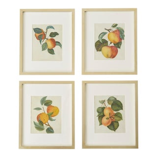 19th Century Hand-Colored Botanical Fruit Prints - Set of 4 For Sale