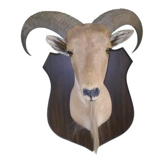 Taxidermy Mounted Rams Head