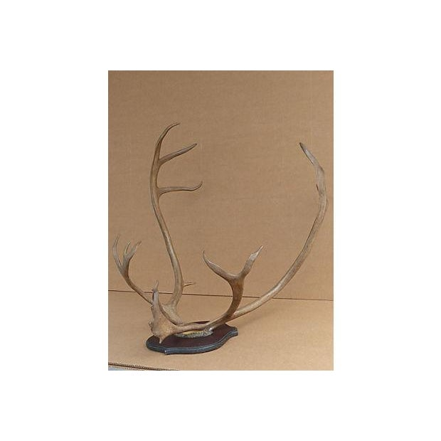 Wall Mounted Taxidermy Elk Antlers - Image 8 of 8