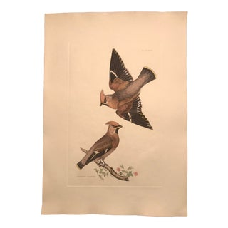 20th Century Traditional Bohemian Waxwing - Hand Colored Copper Engraving by P. John Selby For Sale