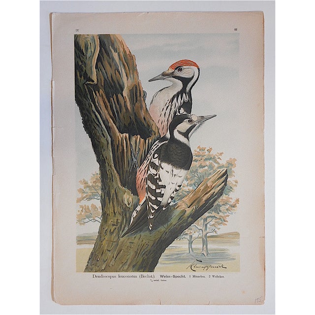 Cottage Antique Bird Lithographs - Woodpeckers For Sale - Image 3 of 3