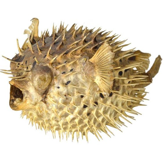 Exotic puffer fish chairish for Puffer fish price