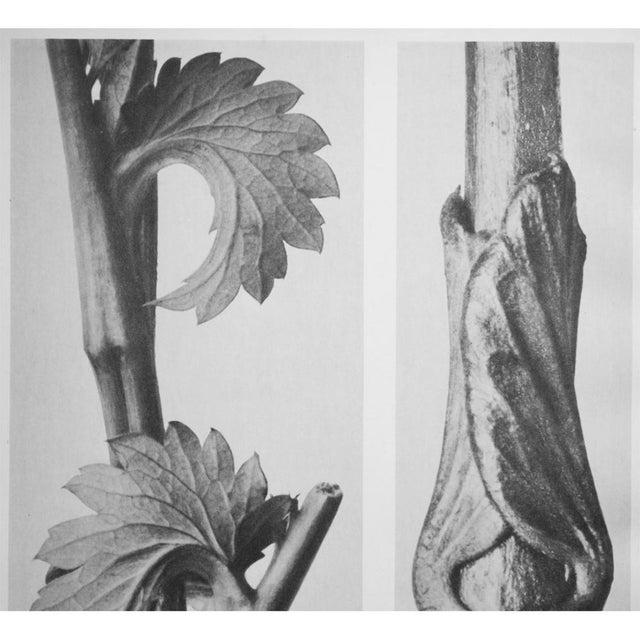 1935 Karl Blossfeldt Two-Sided Photogravure N62-61 For Sale - Image 4 of 9