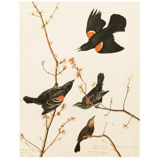 1966 Cottage Lithograph of Red-Winged Starling by John James Audubon For Sale