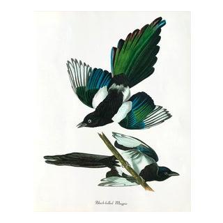 "Authentic Vintage ""Black Billed Magpie Bird & Botanical"" Print by John James Audubon For Sale"