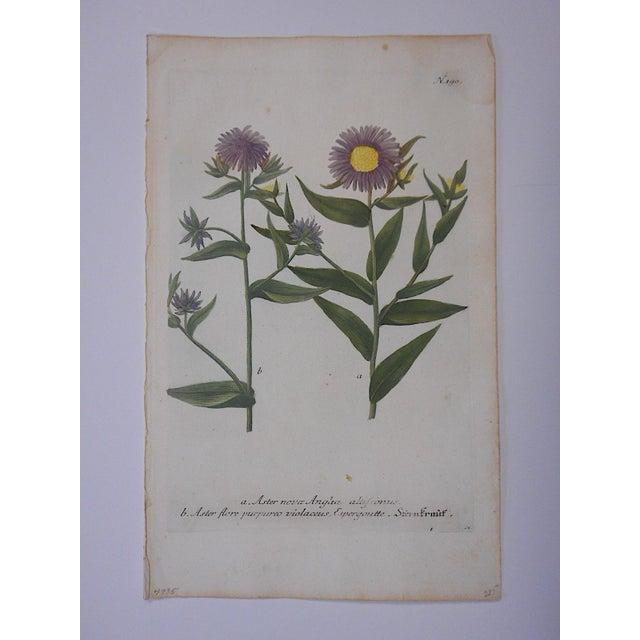 This is a Johann Weinmann botanical mezzotint print circa 1740. Johann Wilhelm Weinmann (Germany 1683-1741), apothecary...