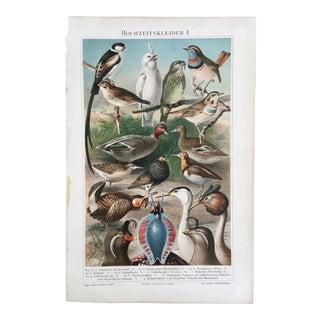 1890's Meyer Chromolithograph - Hochzeitskleider I. - Birds With Bright Plumage