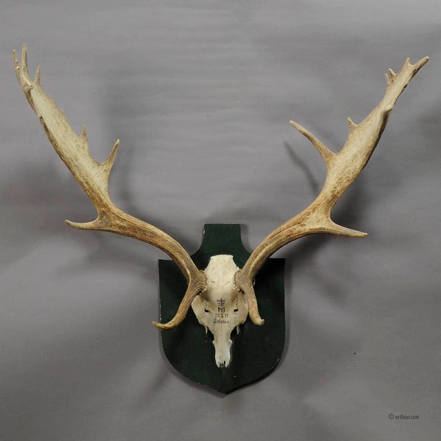 a great black forest fallow deer trophy from the palace of salem in south germany. shoot by a member of the lordly family...